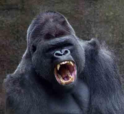 Ferocios Gorilla